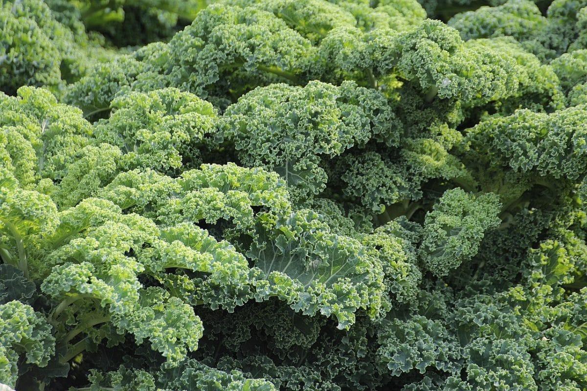 ซุปเปอร์ฟู้ด ผักเคล Kale Organic Kale Powder
