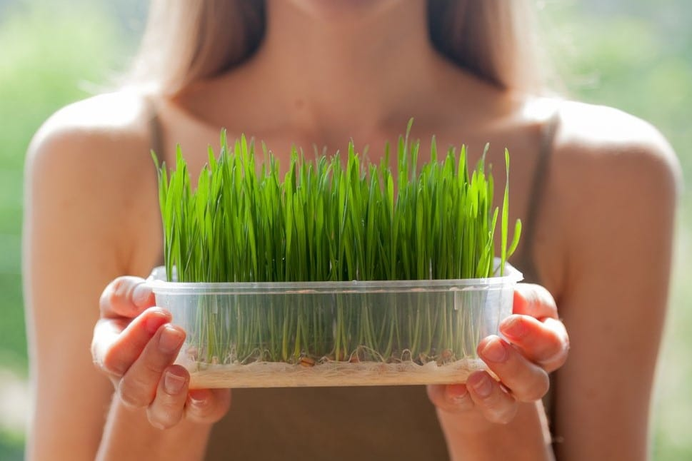 organic wheatgrass powder and health benefits