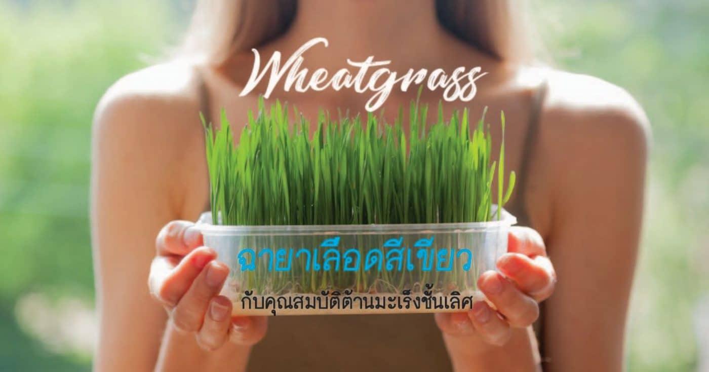 ต้นอ่อนข้าวสาลี wheatgrass green blood to fight cancer superfood store thailand