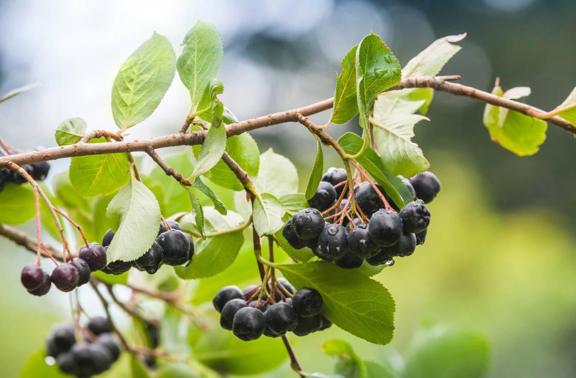 organic maqui berry powder and benefits superfood online healthplatz thailand ผงมากี้ เบอร์รี่ ออร์แกนิคไม่ผสม ปลอดสาร
